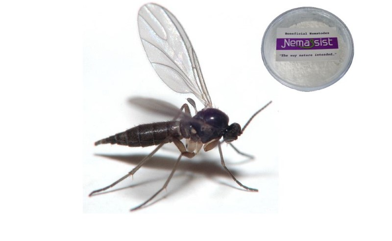 Nemassist Fungus Gnat Treatment