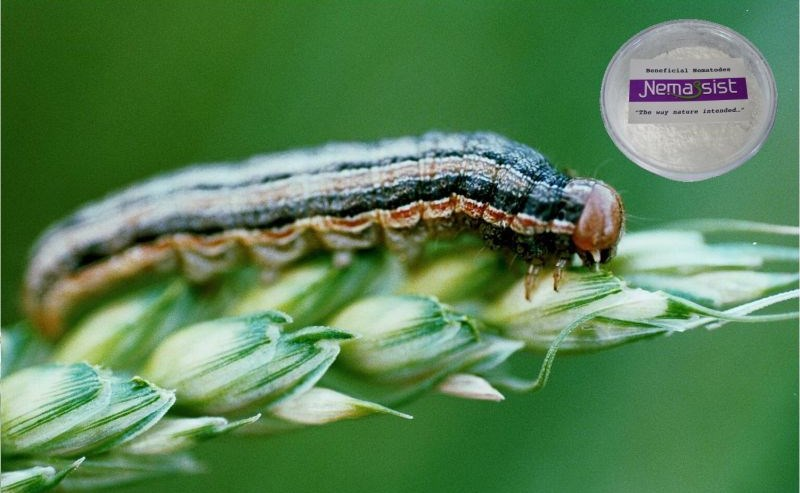 Nemassist Armyworm Treatment