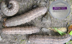 Nemassist Cutworm Treatment